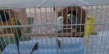 طيور للبيع عددهم 6 مع القفص والاكل والبيوت
