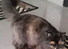 لهواة الفخامه قطه تورتيلا بيور جدود مسجلين