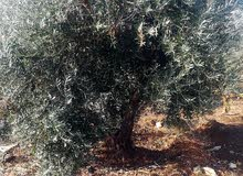 شراء أشجار الزيتون واللوزيات وجميع أنواع الأشجار من أجل الحطب