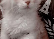 قطه للبيع عمرها 3شهور سبب البيع شريت وحده ثانيه
