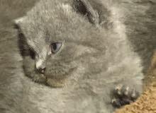 للبيع قطط بريتش وسكوتش بيور العمر ثلاث اسابيع التواصل على الواتساب او على الرقم 0522949115