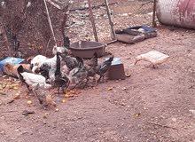 15 دجاجه البيع فيومي بلدي