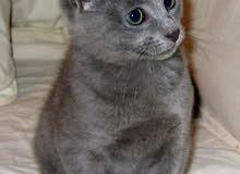 القط الروسي