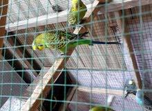 طيور لحب مستعجل  ؏  بيعتهن مبيضات
