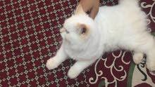 قطتان اليفتان للبيع
