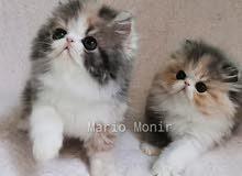 قطط كاليكو