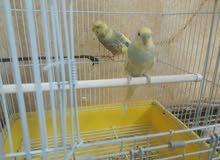 طيور طيور الحب