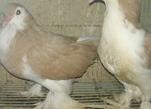 شيرازي زوج منتج سوبر جامبو