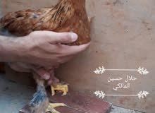 دجاج براهما للبيع