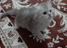 قط شيرزاي العمر شهرين