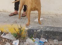 كلاب بيتبول  بكسر للبيع