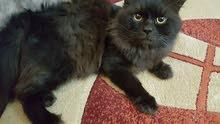 قطط شيرازيه جميله