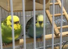 للبيع طيور حب الالماني