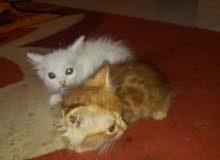 قطط عمر شهر ونصف شيرازي اصلي 30 ريال للقط قايل
