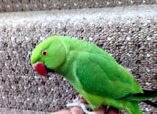 baby parrot for sale 2.5 month 2.5 شهر ببغاء