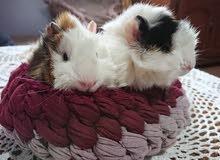 cochon d'inde sosette et amiricain