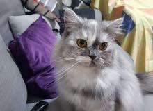 قطة شيرازي للبيع مع كامل ملحقاتها
