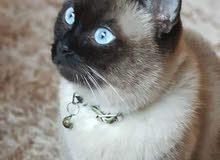قطة سيامي للبيع