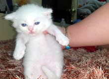 Kittens British Longhair white Male 1 months