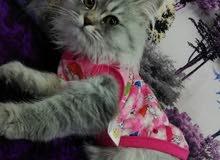 قطه شيرزي انثى