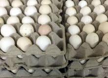 بيض عماني مخصب يصلح للأكل ويصلح للفقاسات