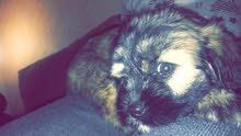 كلب فرينش جرو العمر شهرين ونصف