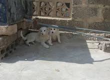 كلاب لولو ذكر وانثي 30 الف ريال الاثنين مع بعض