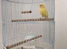 طيور يغرد و لون اصفر صغير