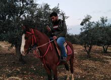 يخوان هذا الحصان وين صارت بلاده والي عنده الحصان يرن عليه ودي اشتريه