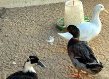 healthy ducks for sale