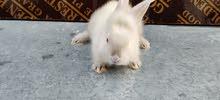 ارنب مثل القطط السنامى