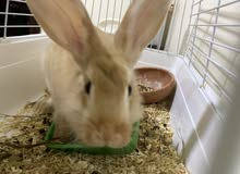 أرنب أليف مع مستلزماته من أكل كمية كبيرة وقفص