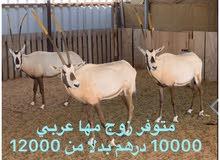 غزلان المها العربي