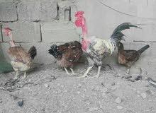 خوان عندي ديج ابو ركيبه مع ثلاث دجاجات واحد ام ركيبه مال بيت وبيضات وملقحات