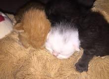 قطط شيرازيه حديثه الولاده 3 اسابيع