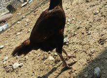 البيع دجاجه باكستانيه العمر سنه