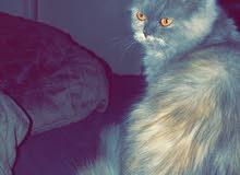 قطة مكس سيبيرين اند سكوديش