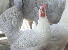 للبيع دجاج فيومي المنيوم مجاميع 3 دجاجات وديك مطعمين وصحه ونظافه واحجام جامبو بياضين