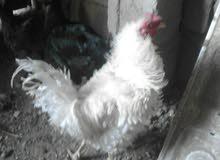 بيض دجاج عرب للبيع الديج مفتل07708465071