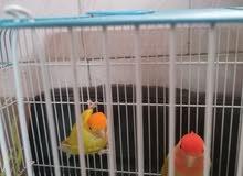 طيور روز ذكر وأنثى