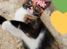 للبيع قطة شيرازية صغيرة