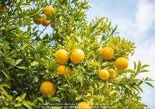 برتقال صيفي ،برتقال ابوسرة، يوسفي حصريا من شركة أورجانيك للاستيراد والتصدير