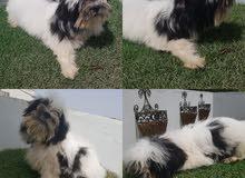 كلب شيتزو ذكر العمر 3اشهر