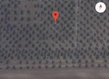 مزرعة زيتون كبير نبالي محسن منتج للزيت للبيع في حرثا