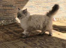 قطه للبيع