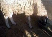 خروف فحل سنه تني الله ايبارك