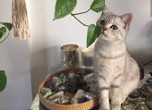 قطه برتش سلفر للبيع