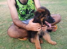 كلب جيرمن لونج هير بيور مستوى عالي