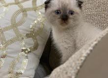 السلام عليكم للبيع قطة سكوتش فولد عيونها زرق