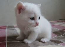 قطه شيرازيه معاها ولادها الثنين